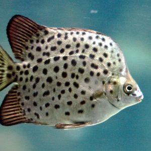 Cá nâu tươi sống